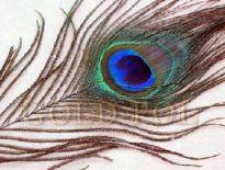Pióra pawie - importer - www.goldpol.eu